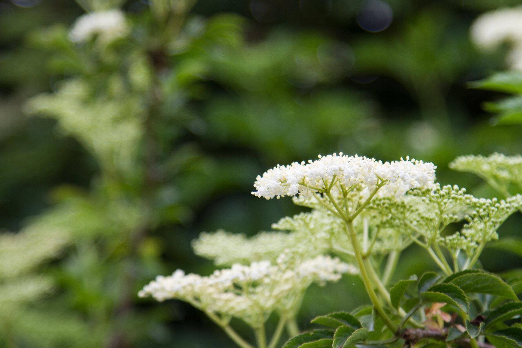 elderflower cordial | reading my tea leaves