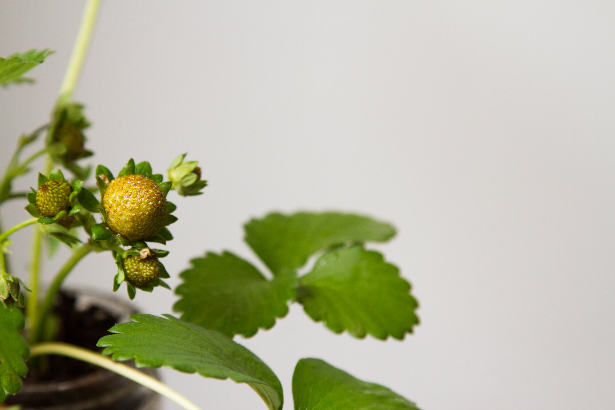 strawberry plant | reading my tea leaves